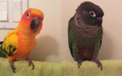 ADOPTED MAY, 2016 Two Conures Require New Loving Home, Calgary, AB