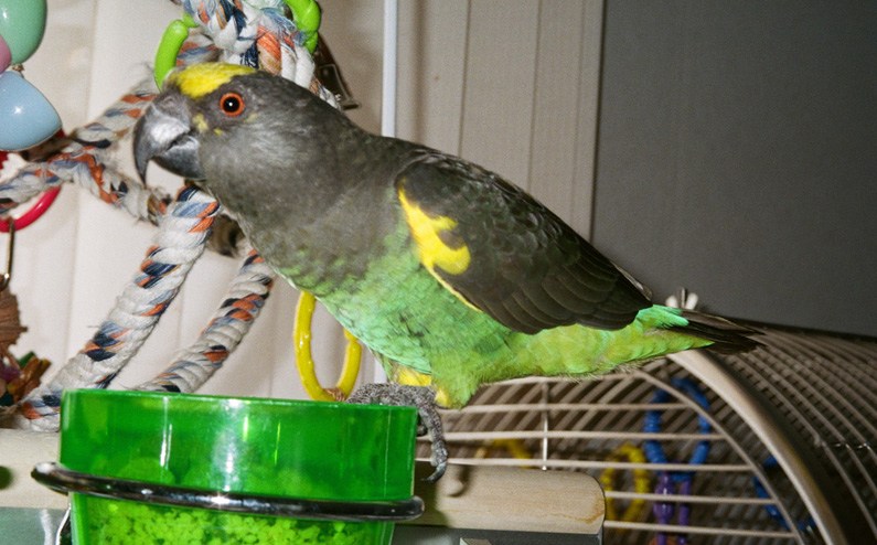 Tiko, Meyer's Parrot or Brown Parrot