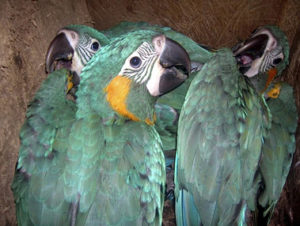 PRC Sponsors 2017-18 Nestbox for Critically Endangered Blue-throated Macaw